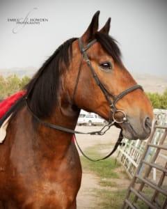 GOHA Horses - Guinness